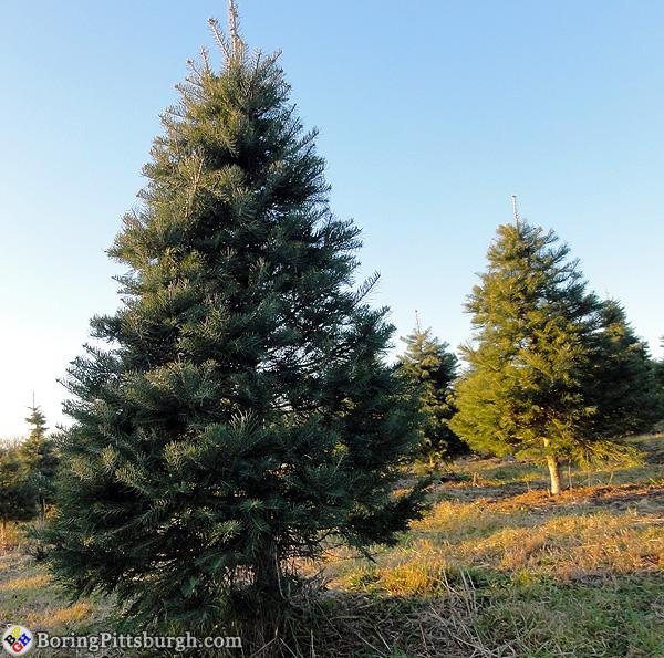 Christmas trees at Hozaks Farm