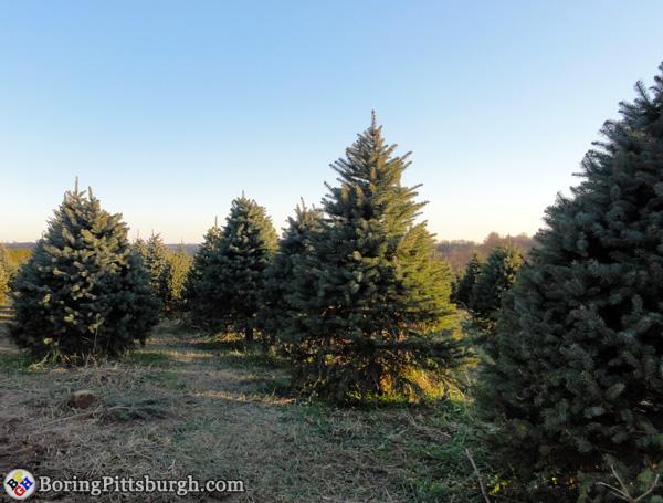 Christmas trees at Hozak Farms