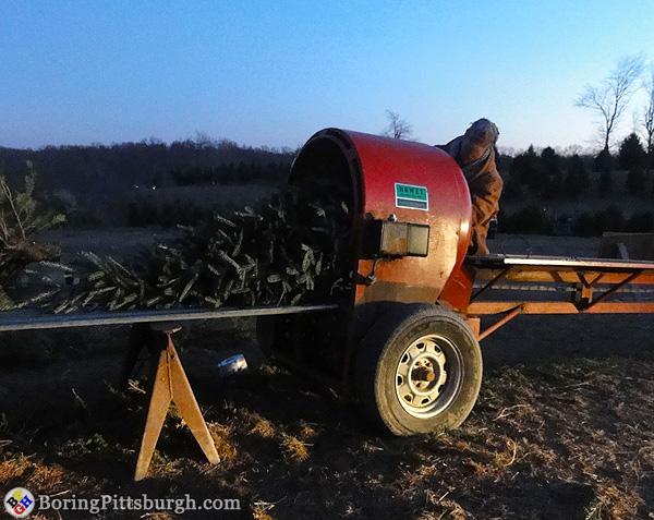 Baling the Christmas tree