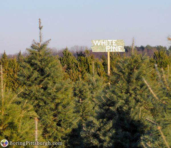 White Pine Christmas trees at Hozak Farms
